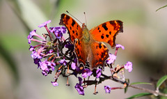 Eastern Comma Butterfly (wvsawwhet) Tags: butterfly westvirginia wv fairmont marioncounty