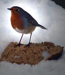 The garden: robin's breakfast (ronmcbride66) Tags: robin bread snow garden thegarden gardenbird coth