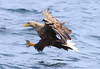"Sea Eagle • <a style=""font-size:0.8em;"" href=""http://www.flickr.com/photos/141456631@N05/45513507301/"" target=""_blank"">View on Flickr</a>"