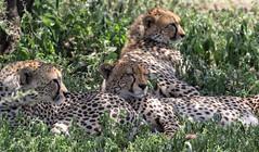 In Expectation Of ... (AnyMotion) Tags: cheetah gepard acinonyxjubatus cat katze mother cubs resting 2018 anymotion ndutu ngorongoroconservationarea tanzania tansania africa afrika travel reisen animal animals tiere nature natur wildlife 7d2 canoneos7dmarkii