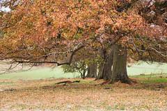 Lauterbach (Holgi_BS_63) Tags: hessen vogelsberg lauterbach eisenbach baum tree herbstautumn single eichen germany deutschland