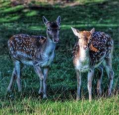 Deers in the morning sunlight!😀 (LeanneHall3 :-)) Tags: deers brown white spots fur animals sunlit sunlight nature wildlife green grass eastpark aviary hull kingstonuponhull canon 1300d