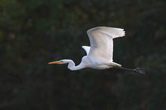 Great White Egret (Tim Melling) Tags: ardea egretta alba great white egret bretton west yorkshire timmelling