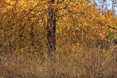 October Days (marikavanhala) Tags: autumn autumncolours fall nature tree birch finland 135mm