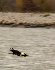 Cruising . . . (Dr. Farnsworth) Tags: baldeagle large bird white head tail hunting muskegon mi michigan fall october2018