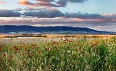 Poppies at sunset (Martiruruna) Tags: wildflowers floressilvestres tablasdedaimiel marsh expressivesky wetland españa spain castillalamancha clouds nublado landscape paisaje humedal daimiel campo countryside atardecer sunset poppies amapolas