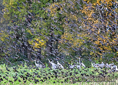 Kindred Spirits (Gary Grossman) Tags: blackbirds cranes geese flocks autumn fall trees birdscape wildlife sauvie oregon nature garygrossmanphotography sandhillcranes redwingblackbrids snowgeese sauvieisland pacificflyway pacificnorthwest migrating birds wildlifephotography