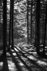 Ciężkowice Through the trees 1 IMG_5227 b bw (david.neville2776) Tags: ciężkowice małopolska trees sunlight shadows