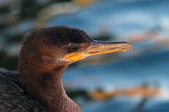 Not In The Mood (VGPhotoz) Tags: vgphotoz ngc cormoran wildlife nature naturepics mood beak eye wild usa america birds naturallook head notinthemood naturephotography arizona