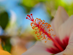 Life is bokeh-licious (Karsten Gieselmann) Tags: 60mmf28 blumen blüten bokeh dof em5markii farbe hibiscus hibiskus mzuiko makro microfourthirds natur olympus pflanzen rot schärfentiefe blossom color flower kgiesel m43 macro mft nature red lagos faro portugal