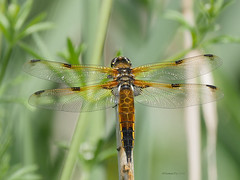 Four spotted chaser (yvonnepay615) Tags: panasonic lumix gh4 nature insect fourspottedchaser lakenheathfen suffolk eastanglia uk