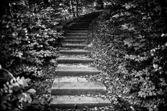 Asent (Svendborgphoto) Tags: monochrome manualfocus nikkor nikon nikkorais nikkorai nikond800 d800 dof bokeh bw blackandwhite concrete steps forrest f14 35mm14 35mm
