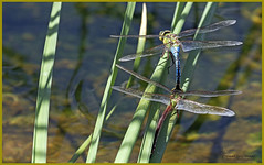 "_03A0101 ""Coupled"" Green Darner ©Dancing Snake Nature Photography (Dancing Snake Nature Photography) Tags: arizona nature photography dancingsnakenaturephotography insects dragonflie odonata greendarner tucson"