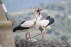 DSC_6063 (P2 New) Tags: 2018 animaux ciconiidae ciconiiformes cigogneblanche date espagne extremadura mai oiseaux pays