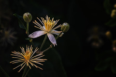 little white flower (anderswetterstam) Tags: flowers nature plants floral botanical white delicate freshness vulnerability fragilty dark beauty