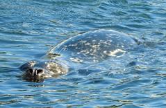 Harbor Seal in Monterey (Ruby 2417) Tags: harbor seal mammal animal wildlife nature monterey wharf bay ocean sea coast