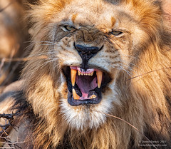 The Look (Dwood Photography) Tags: lion the look thelook africa yellow tan gold golden wildlife 2018 tongue canine canines