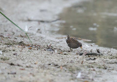 Spotted Crake Wilstone-7245 (seandarcy2) Tags: birds crake spotted spottecrake wildlife reedbed wilstone tring herts