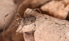 4.5 mm brown harvestman (ophis) Tags: arachnida opiliones eupnoi phalangoidea phalangiidae phalangium phalangiumopilio harvestman