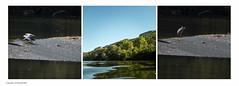 Heron and trout (AJ Mitchell) Tags: heron m42 prime 240mm abrisfontalès rocdanglars laveyron fishing stantoninnobleval ennamunchen teleennalyt240mm pentaxwg river trout troutfishing
