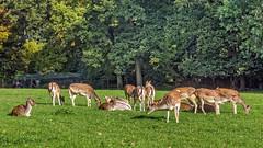 Wildpark Düsseldorf-Grafenberg - Rehe IV (KL57Foto) Tags: 2018 düsseldorf düsseldorfgrafenberg germany grafenberg herbst jahreszeitenundwetter kl57foto nrw natur nordrheinwestfalen omdem1 oktober olympus tiere tiereallgemein wildpark herde rehe wild