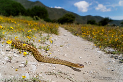 Crotalus molossus oaxacus (Matthieu Berroneau) Tags: trip mexique sony alpha macro nature france herpéto wildlife animal animaux ff 24x36 full frame a7ii 7ii 7mk2 sonyilce7m2 herping herpeto reptile reptilian reptilia serpent serpente snake serpentes snakes serpiente field herp venomous poisonous serpents sonya7ii sonya7mk2 sonyalpha7mark2 sonyalpha7ii crotalus molossus oaxacus crotalusmolossusoaxacus crotalusmolossus cascabel de cola negra oaxaqueña cascabeldecolanegraoaxaqueña cascabeldecolanegra oaxacan blacktailed rattlesnake oaxacanblacktailedrattlesnake blacktailedrattlesnake fe 2470 mm f4 zeiss fe2470mmf4zeiss landscape habitat milieu mexico paysage