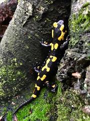 Salamandra salamandra (sonny.86) Tags: colori nero giallo giallonero rettile salamandrasalamandra bosco iphone7 iphone anfibio salamandra