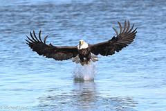 Zap, Boom, Bam (mobull_98) Tags: baldeagle eagle
