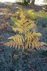Fern (San Bernardino Nat'l Forest) Tags: fall foliage plants fern