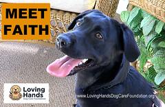 Faith-01 (videodocdigital) Tags: lovinghandsdogcarefoundation leesburg florida blacklab dog servicedog 22vets 22 22vetsdiesdaily veterans ptsd stressrelief foundation nonprofit
