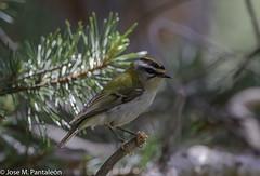 2-El reyezuelo sencillo (Regulus regulus) es el ave paseriforme más pequeña de Europa: mide 9 cm de longitud y 14 cm de envergadura, pesando entre 5 y 6 g. Suele verse en las ramas bajas de los árboles, en las que come. (Cimarrón Mayor 14,000.000. VISITAS GRACIAS) Tags: ordenpasseriformes familiaregulidae géneroregulus reyezuelosencillo nombrecientificoregulusregulus nombreeninglesgoldcrest lugardecapturalosmiradoresderevilla lasgargantasdeescuaín lospirineosaragon huesca españa ave vogel bird oiseau paxaro fugl pássaro птица fågel uccello pták vták txori lintu aderyn éan madár cimarrónmayor panta pantaleón josémiguelpantaleón objetivo500mm telefoto700mm 7dmarkii canoneos canoneos7dmarkii naturaleza libertad libertee libre free fauna dominicano pájaro montañas