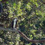 Osprey in the Live Oak thumbnail