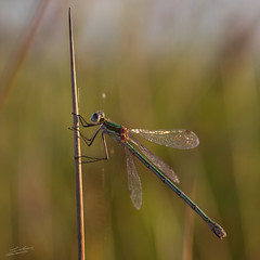 Damselfly (Jongejan) Tags: damselfly juffer nature insect outdoor outside macro closeup animal grass reed water web