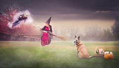 The Grimm 42/52/2018 Wingardium leviosa (Kate McLellan) Tags: 52weeksfordogs malinois halloween harrypotter witch spell magic