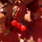 Baies rouges au soleil d'automne thumbnail