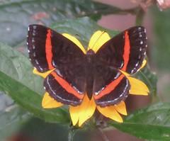 Crocozona coecias (Birdernaturalist) Tags: bolivia butterfly lepidoptera metalmark richhoyer riodinidae riodininae riodinini