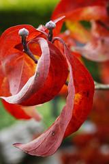 Bladeren in herfstkleuren - Leaves in autumn colors (brigittefotografie) Tags: appeltern herfstkleuren autumncolors najaar fall oktober octobre macro tuinen gardens bloemen flowers planten plants bloesem blossem bomen trees