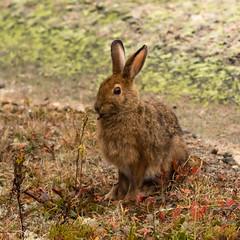 Snowshoe Hare (Lepus americanus) (johnny4eyes1) Tags: animals autumn acadianationalpark wild wildlife snowshoehare wildanimals nature nationalparkservice hare outdoors parks acadia fall conservation nationalparks