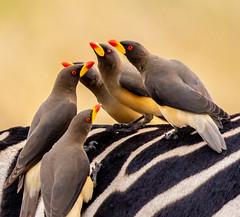 Things are looking up today :) (frankmetcalf) Tags: buphagusafricanus yellowbilledoxpecker maasaimara kenya africa zebra entimcamp savannah grassland