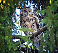 Long-eared owl. (L.Lahtinen (nature photography)) Tags: autumn finland owl longearedowl sarvipöllö nikond3200 nikkor55300mm birdlife wildlife nature naturephotography europe birdonthetree wood birdonabranch suomi luonto luontokuvaus fauna lintu pöllö