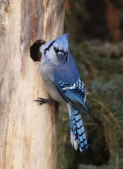 IMG_0532 Geai bleu, Roberval (joro5072) Tags: animal nature oiseau bird jay geai