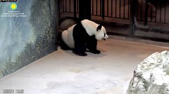 2018_09-23c (gkoo19681) Tags: tiantian dabigguy sohandsome proudpapa adorableears fuzzywuzzy naturecall goingpotty toosmart toocute adorable amazing neatfreak meltinghearts precious darling ccncby nationalzoo