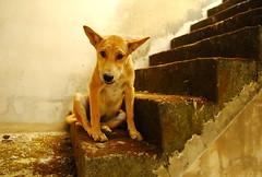",, Baby Mama, ""Please Help Us"" ,, (Jon in Thailand) Tags: puppy babymama templedog jungle puppyears dog k9 thedogpalace themonkeytemple puppyeyes dogeyes dogears puppyexpression dogexpression concretestaircase moss babypuppy nikon d300 nikkor 175528 nikongear funnypuppy worriedpuppy redmoss littledoglaughedstories"