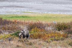 Mama Grizzly ((JAndersen)) Tags: bear grizzlybear manyglacier glacier glaciernationalpark montana usa wildlife animal nature nikon nikkor20005000mmf56 d810 lakesherburne
