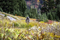 Mt. Rainier Marmot (LifeLover4) Tags: marmot mtrainier hike nationalpark nature dof explore explored hughstickney stickneydesign marmotacaligata hoary interesting interestingness mountrainier
