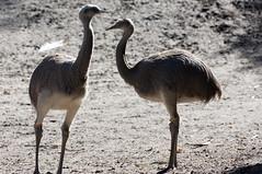 Nandoe - Greater rhea (Den Batter) Tags: nikon d7200 zooparc overloon nandoe greaterrhea rheaamericana