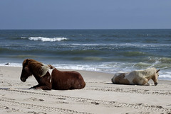lonely Assateague ponies (wortenoggle) Tags: assateague ponies