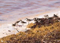 Least Sandpiper (Tony CC Gray) Tags: curryhammockstatepark crawlkey birds tonygray canon floridakeys leastsandpiper