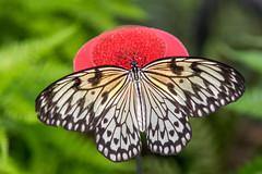 Papiervlinder (Bert Muller) Tags: insecten dieren vlinders papiervlinder lejardindesdecouvertes dierentuin butterfly idealeuconoe largetreenymph paperkite ricepaper die auvergnerhônealpes frankrijk fr macrodreams