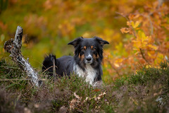 Yatzy (Flemming Andersen) Tags: autumn colours pet nature dog bordercollie yatzy hund outdoor animal bedsted northdenmarkregion denmark dk